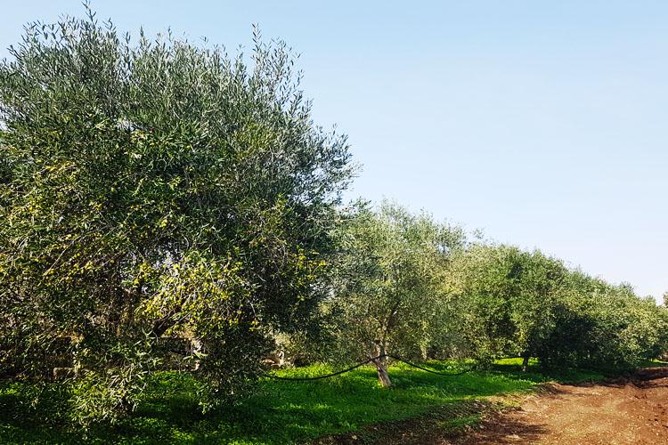 alberi di ulivi